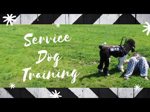 Service Dog Training Video! Tasks, Tricks, & Skills Session