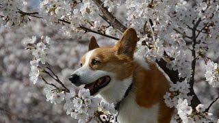 Cherry Blossom Samukawa Town / 桜とゴローさん 寒川中央公園 20150331 Goro@welsh Corgi コーギー Dog 花見