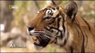 Дикие животные  Хищники  Месть тигра  Документальный фильм National Geographic
