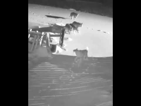 Караганда район Михайловка 24 января 2020 Напали волки ночью