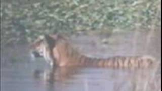 tiger vs crocodile tiger kills croc tiger is the winner