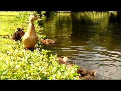 SINGLE MOM TRYING TO GET BY  -  FAMILY DUCK