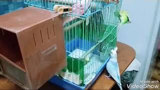 #птенцы#волнистых#попугаев#