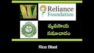 Rice Blast Disease Mangement