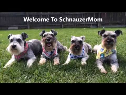 New Intro | Schnauzer Mom Chores | Dog Care