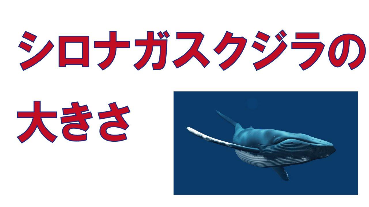 さ シロ ナガスクジラ 大き