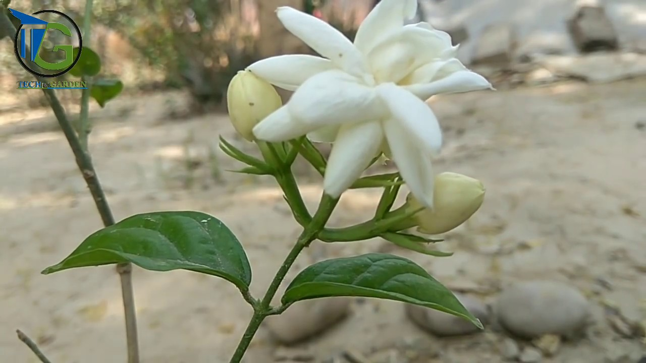 How to care mogra jasmine planting jasmine jasmine flower how to care mogra jasmine planting jasmine jasmine flower summer flower izmirmasajfo