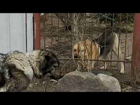 Кавказская овчарка реакция на агрессивных собак