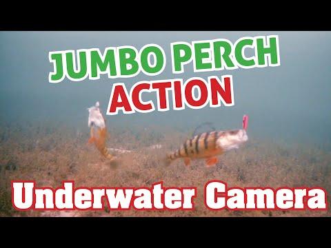 Underwater Perch Ice Fishing Action - Aqua-Vu Underwater Camera