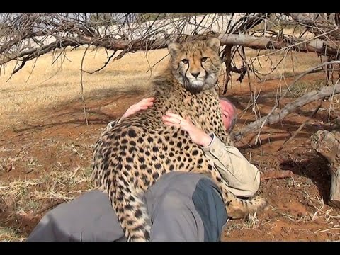 Thumbnail: A Cheetah Steals My GoPro & Films The Uncut Rougher Side Of Big Cat Wildlife Management
