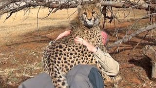 A Cheetah Steals My GoPro & Films The Uncut Rougher Side Of Big Cat Wildlife Management