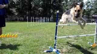 Leela The German Shepherd Dog (agility 7)
