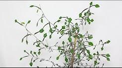 Corokia cotoneaster - Zickzackstrauch, Wire Netting Bush