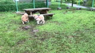 7月16日 大館ベニヤマパークにて 純は母犬にて仔犬守る本能で凶暴になる...