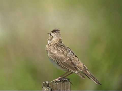 野鳥辞典/鳥の動画/雲雀(ヒバリ)の鳴き声 - YouTube