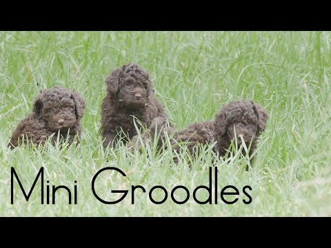 Mini Groodle puppies March 2016