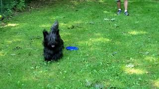 Nelson The Skye Terrier Frisbee