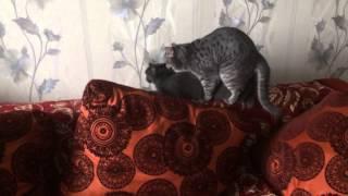 Вязка Британской породы кошек