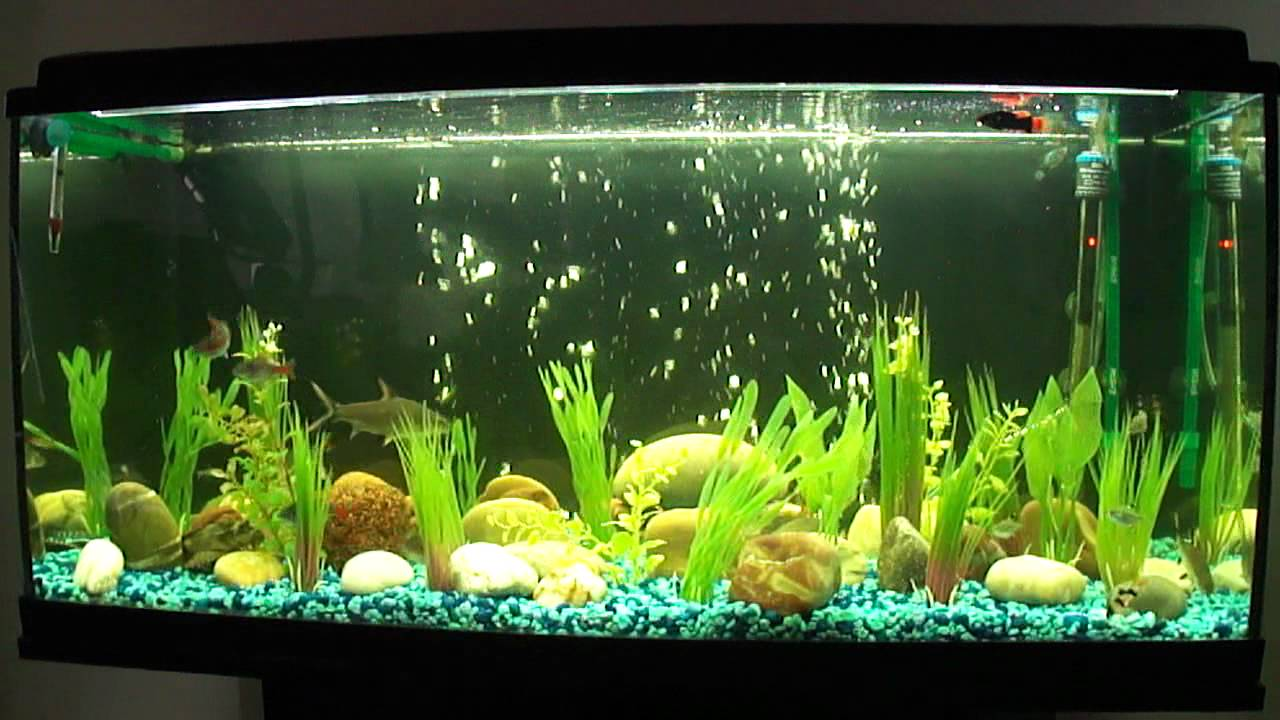 Freshwater aquarium fish in pakistan - Freshwater Aquarium Fish In Pakistan