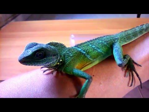 Con kì tôm (kỳ nhông cảnh, Rồng đất, Iguana)