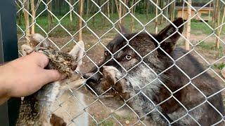 УБИЙЦА ЗАЙЦЕВ!!! Проглотила целиком. Волчонок Арья добыла Зайчонка, первый трофей в 3,5 месяца.