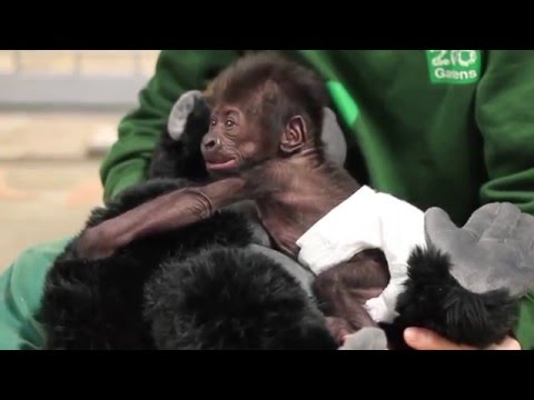 Bristol Zoo's baby gorilla is as cute as ever