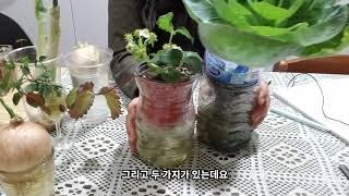 수경재배식물키우기