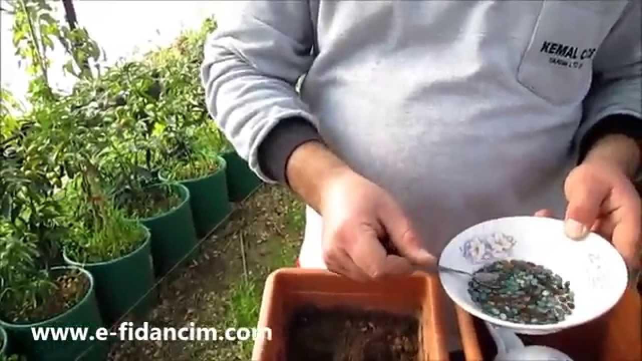 Tatlı biber tohumları nasıl filizlenir