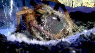 Theraphosa apophysis molting(, 2013-01-16T22:08:12.000Z)