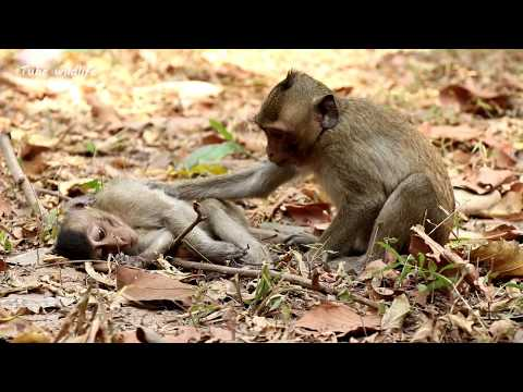 Poor monkey got attacked   Pity poor Tommy monkey gets bruise on legs struggling to walk