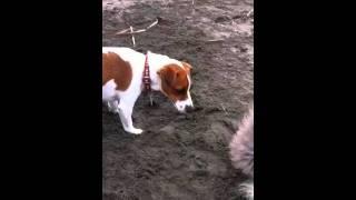 うちの犬、トイプードルのアペ。 友達のジャックラッセルテリアのマリン...