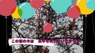 桜の花 原木が河津桜のようです thumbnail