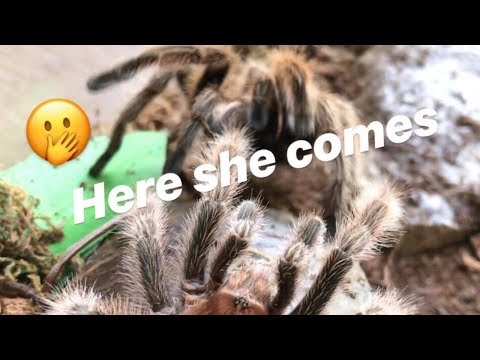 After his last meal, male tarantula FINALLY MEETS HIS GIRL !!!