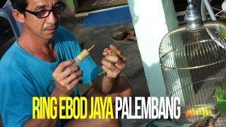 KISAH SUKSES : Pengembangan Penangkaran Murai Batu dan Lovebird Ring Ebod Jaya Palembang