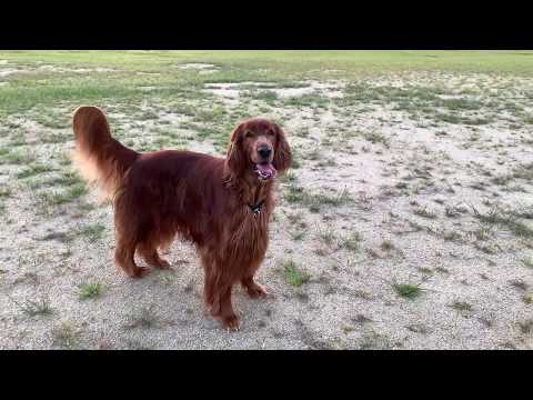 Irish setter playing with crows