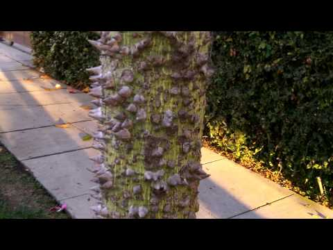 weird hobbit tree with giant thorns growing in los angeles  Exciting new video uploaded today