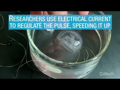 Bionic Jellyfish Swim Faster, More Efficiently