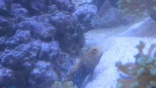 Blue Jaw fish goby - www.acquariomarinho.com - 15 dias de garantia