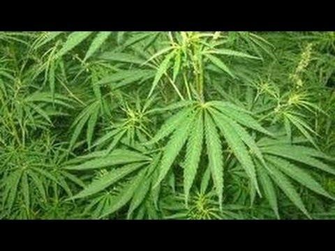 Reportage à Amsterdam sur le cannabis! A VOIR   Entier   Fr 2013   YouTube