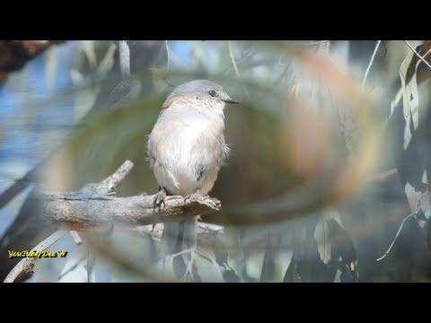 10~New Visitors~ Jacky winter ~ Australian Birds In My Backyard