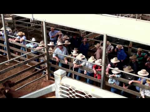 Roma Cattle Sale