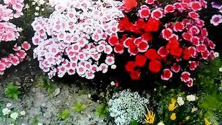 歌遊び【花は苦労の風に咲く】杜このみカバー。2019.3.6発売。