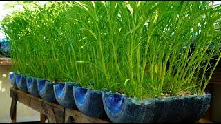 Mẹo trồng rau muống nhanh lớn siêu lẹ từ chai nhựa | Tips grow water spinach quickly grow super fast