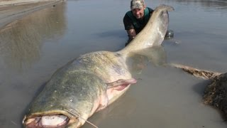 Repeat youtube video CATFISH: YURI GRISENDI FIGHT A MONSTER OVER 100 KG by CATFISHING WORLD