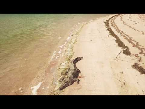 Crocodiles At Seisia Beach (drone Footage)