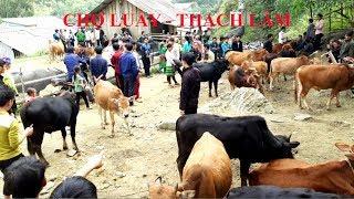 Chợ phiên Thạch Lâm bán rất nhiều trâu bò, con trâu to nhất chợ giá 70 triệu tại Bảo Lâm Cao Bằng
