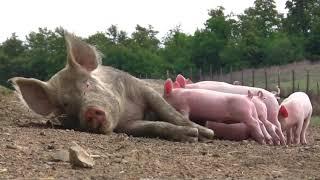 Домашние животные для детей - Как говорят животные