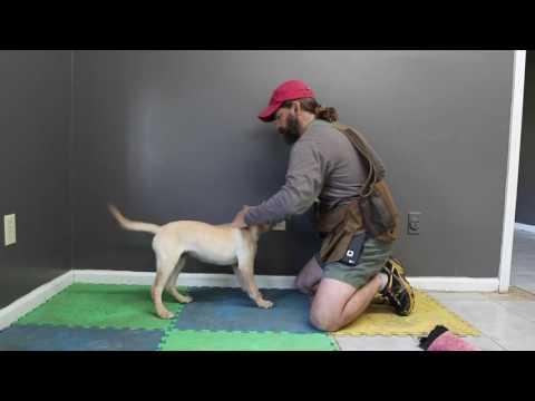 Labrador Retriever Puppy - Getting started with retrieving