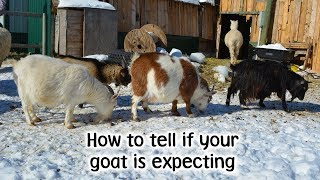 How to tell if your goat is expecting