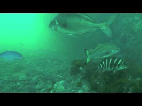 WettieTV - New Zealand Spearfishing Species ID